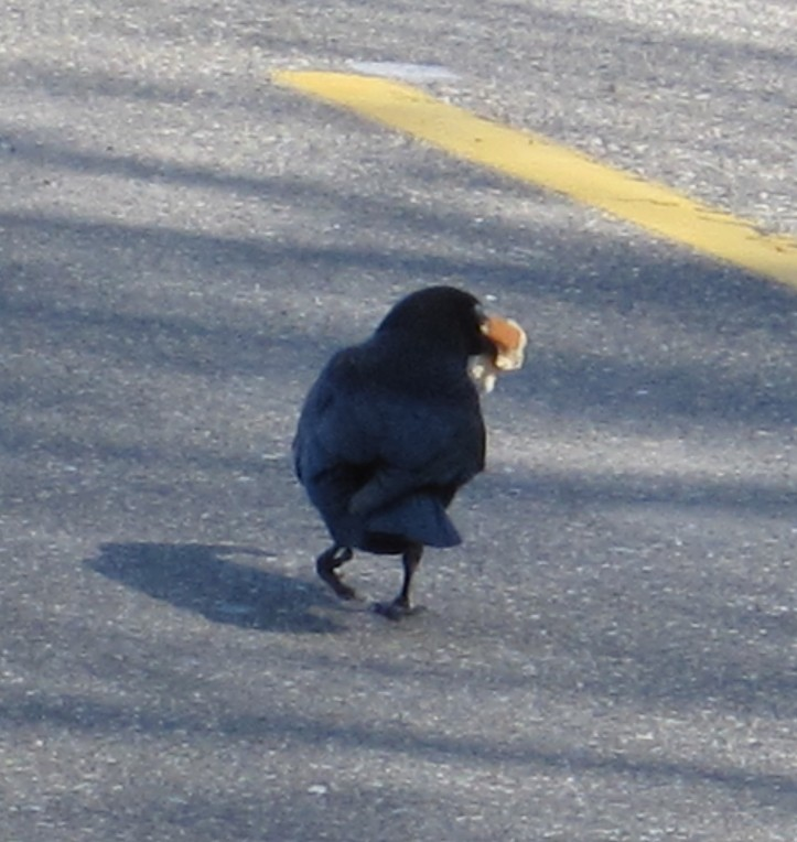 A gimpy leg doesn't stop this Crow from getting bread