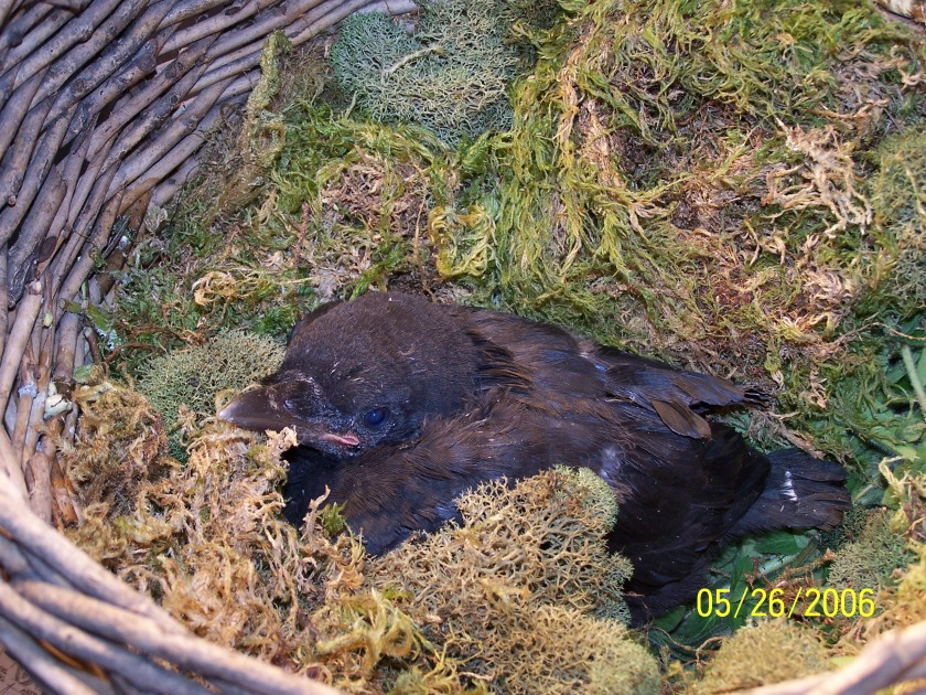 Baby Crow Ellie right after saved from cat