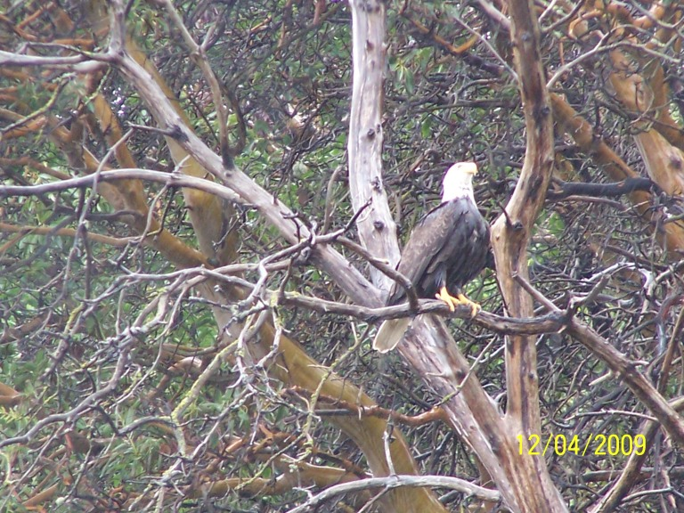 Eagle posing on a Madrona