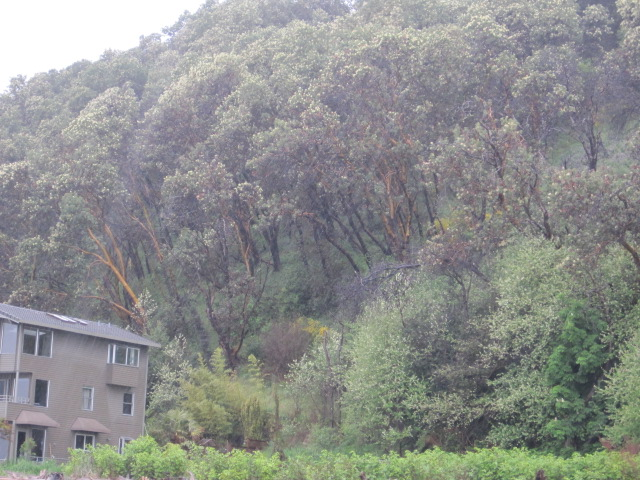 Wet Crows & Madrona Trees (4/5)