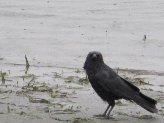 Wet Crows & Madrona Trees (1/5)
