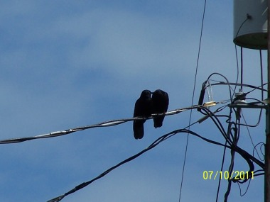 Crow Kisses on the wire