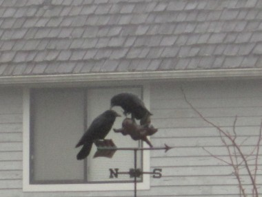 Springs not even sprung but crow love has