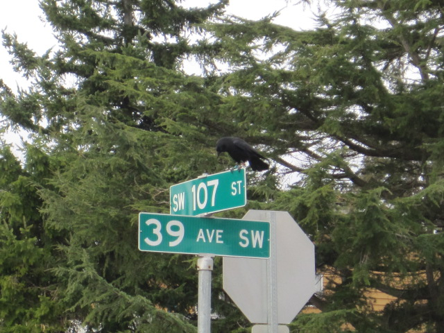 Banded Crow on street sign in Seattle