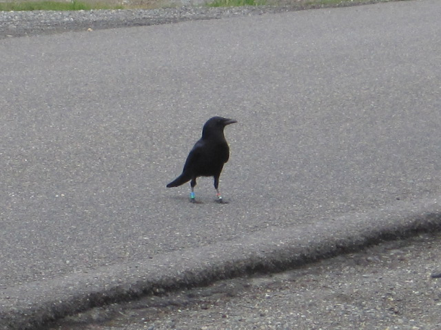 Banded Crow - blue/green and red/green/silver on 107th SW