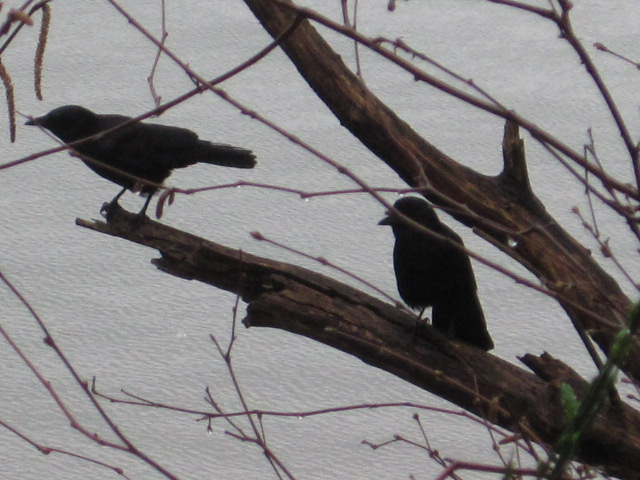 Hill Madrona Pair on trail