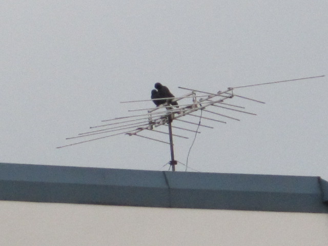 Crow Love Birds on old TV Antenna on our building -  they are still together after fight & death of other crow