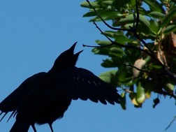 Baby Crow crying for Mom to feed him silhouetted against a blue sky