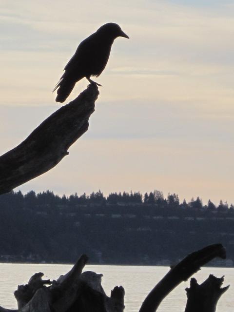 Guard crow