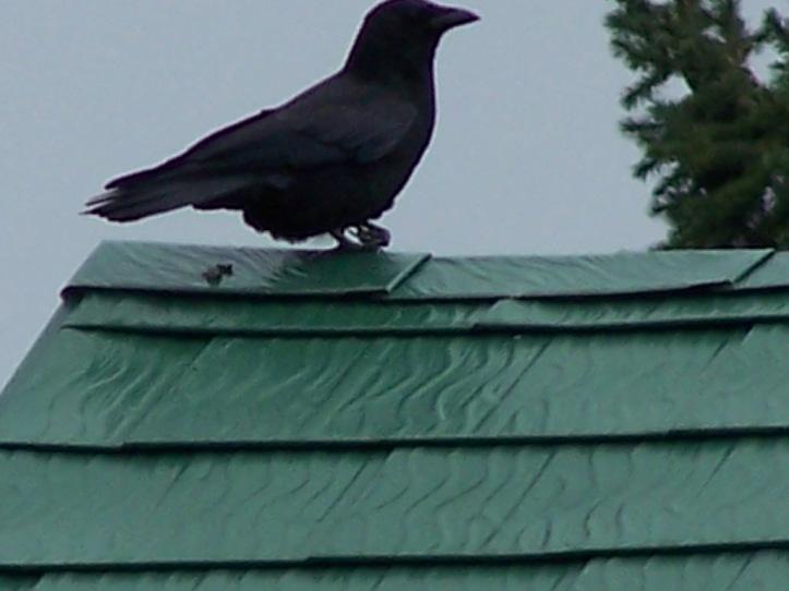 Good shot of Gimpy Crows bad foot.