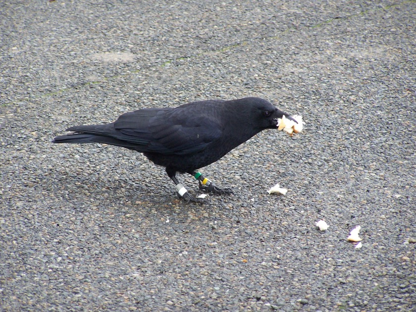 Banded Crow with White band around 39th & 102nd.