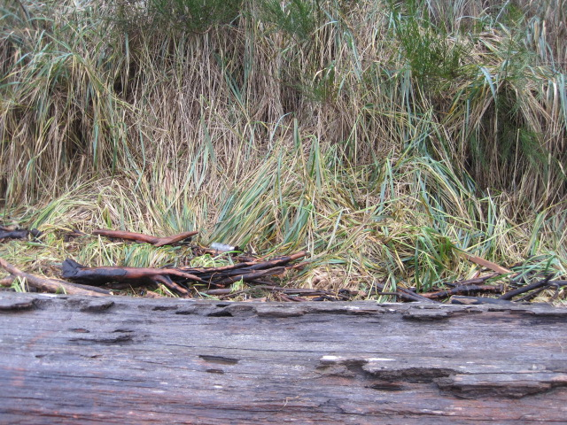 Debris up behind huge old log in the grass.   Rare that the tide gets up into this area.