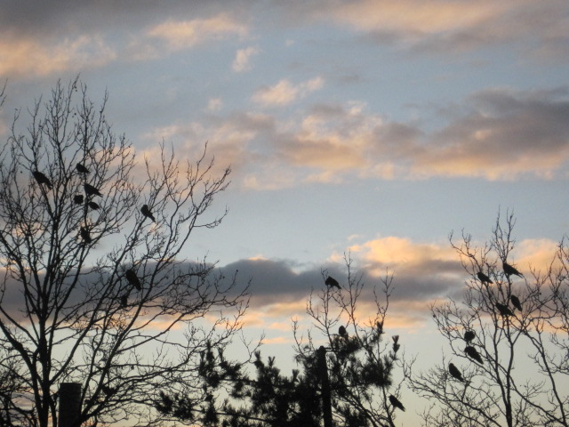 Crows at dusk outside our Renton Warehouse