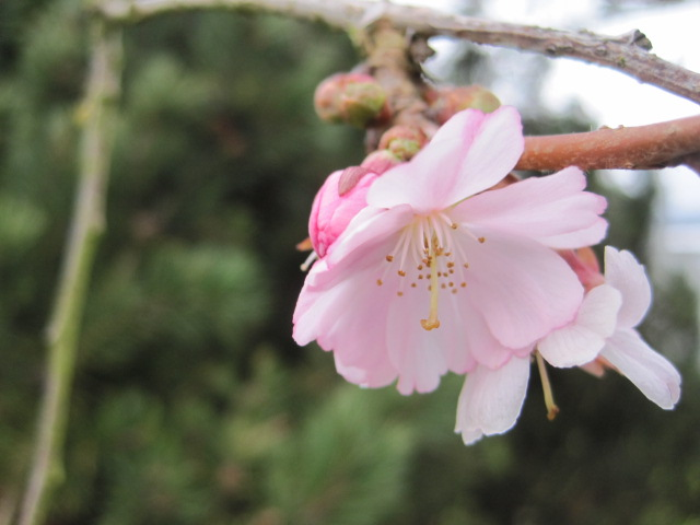Cherry Blossom ahead of spring