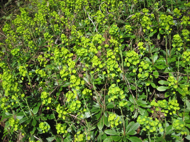 Euphorbia amygdaloides (wood spurge) on my beach trail.