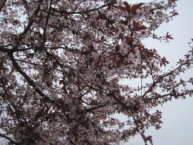 Flowering Cherry (with Red leaves) on Marine View Drive