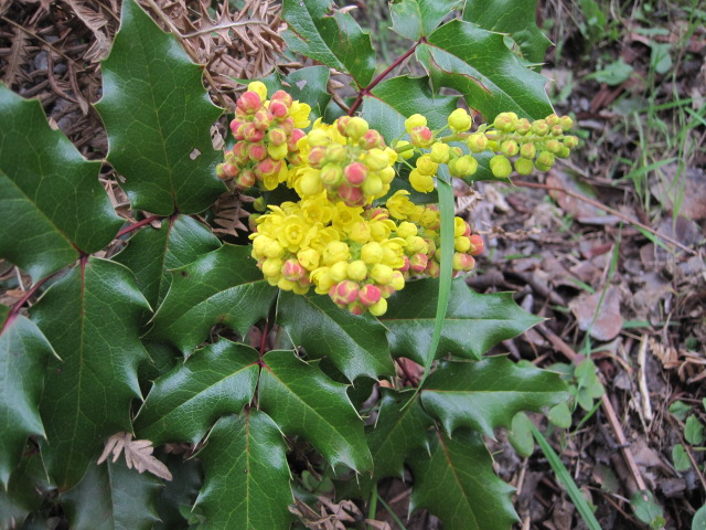 Mahonia aquifolium (Oregon-grape) not far from the Spurge