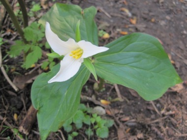 Trillium - notice three leaves and petals.