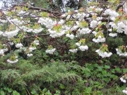 Cherry blossoms sag in the rain