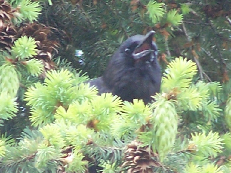 Baby Crow Cry - check out his pink mouth