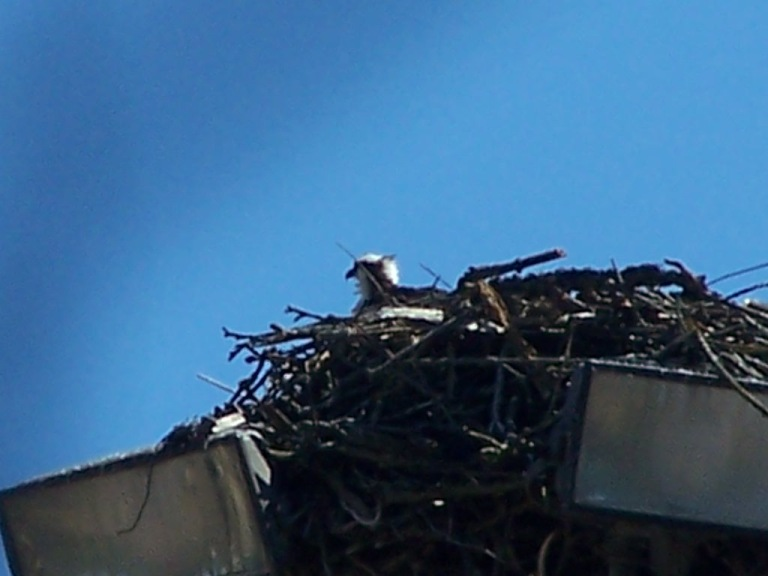Osprey peeking out of nest on Duwamish Waterway