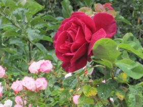 Roses are always a winner