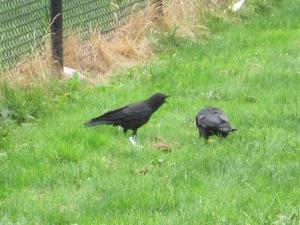 Baby Crow crying for food near Roxbury Park