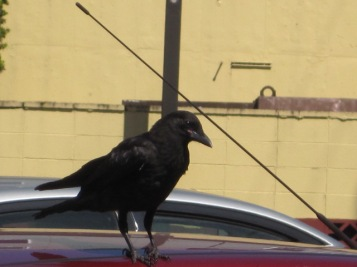 Baby Crow after drinking - notice his baby pink mouth corner