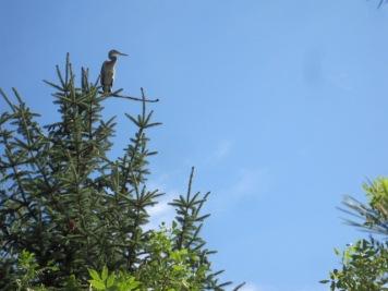 Heron in a tree