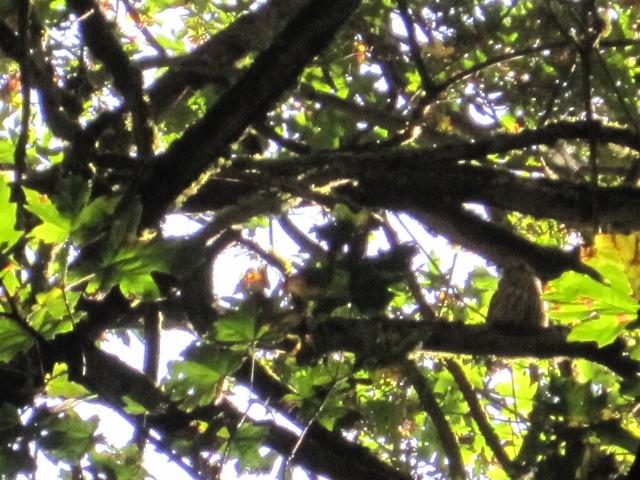 Owl avoiding loud Stellar Jay