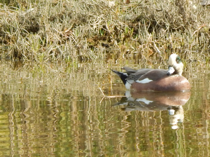 Duck in Duwamish Marsh