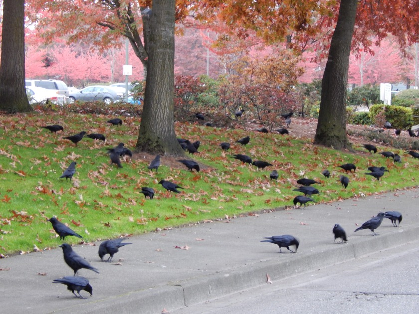 Crow Gathering at dusk on 16th SW Renton