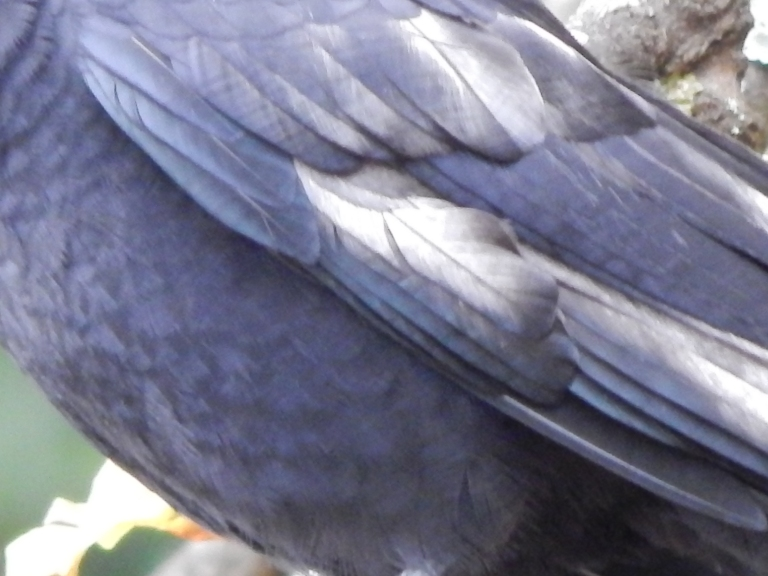 White feathers on Crow  resembles zebra stripes