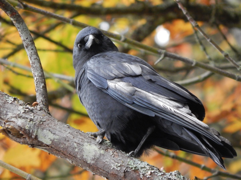 White feathers on Crow in Lincoln Park