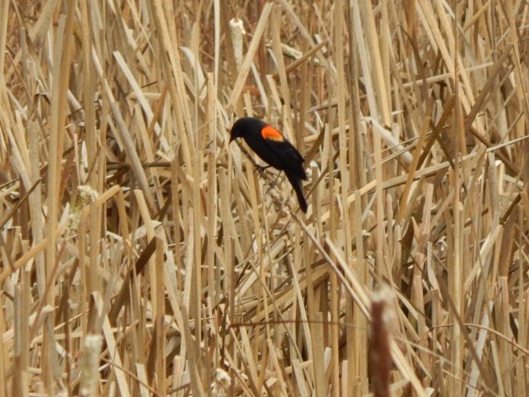Cat tails & Blackbird