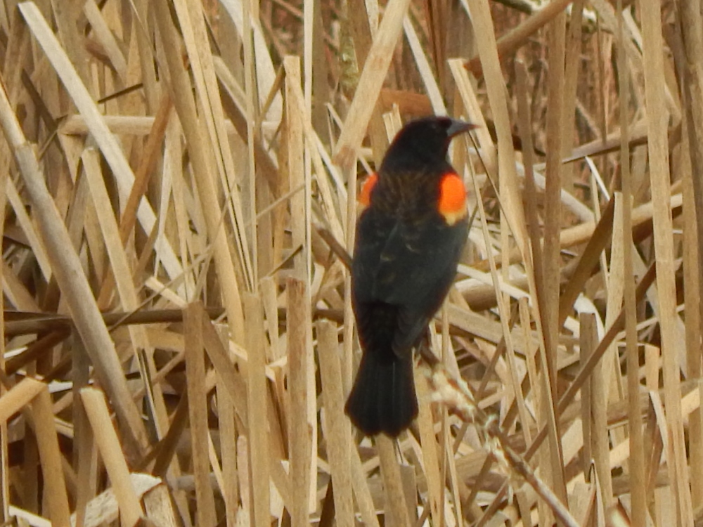 Red Wing Blackbird showing off