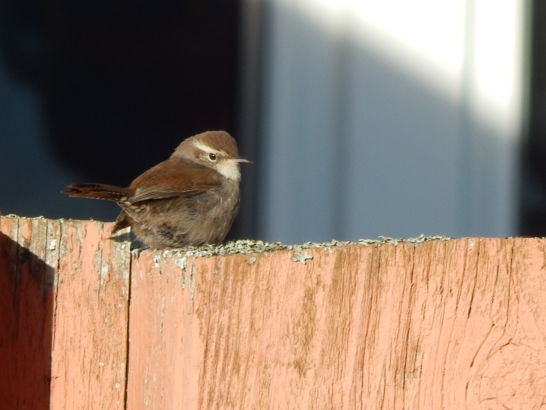 Bewick's Wren getting some rays