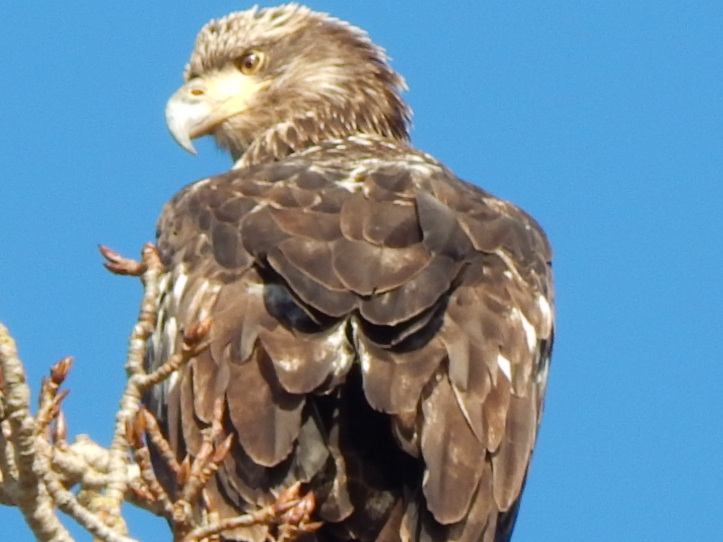 Juvenile Eagle Two
