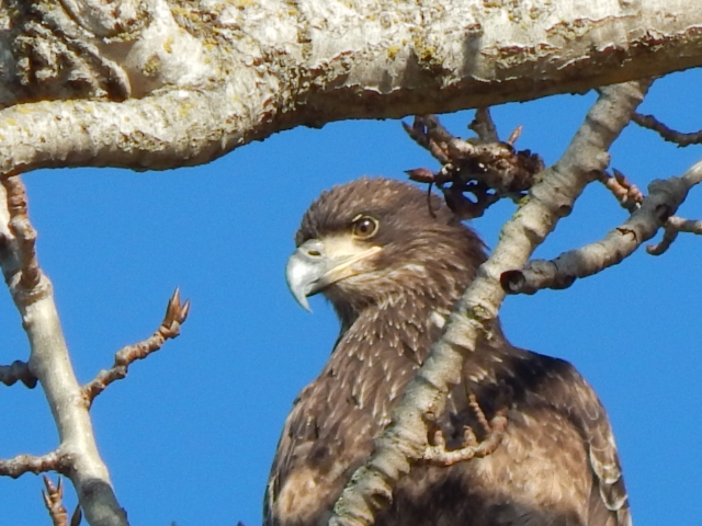 Juvenile Eagle One
