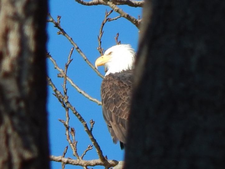 Eagle Surveying Puget Sound