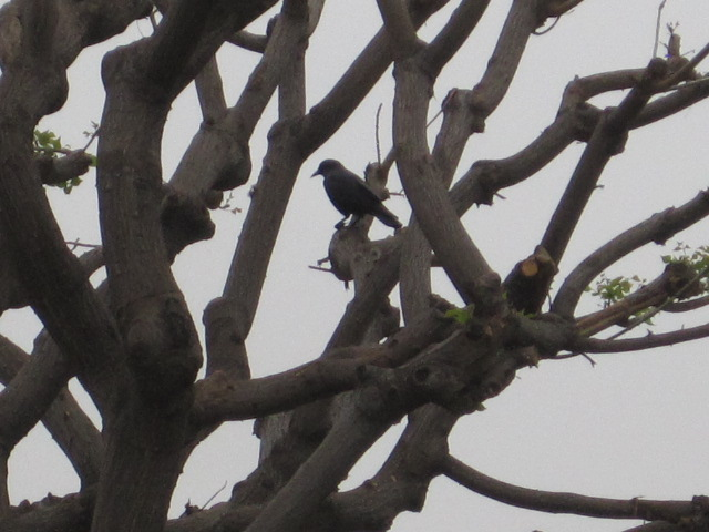 Gnarled tree and CA Crow