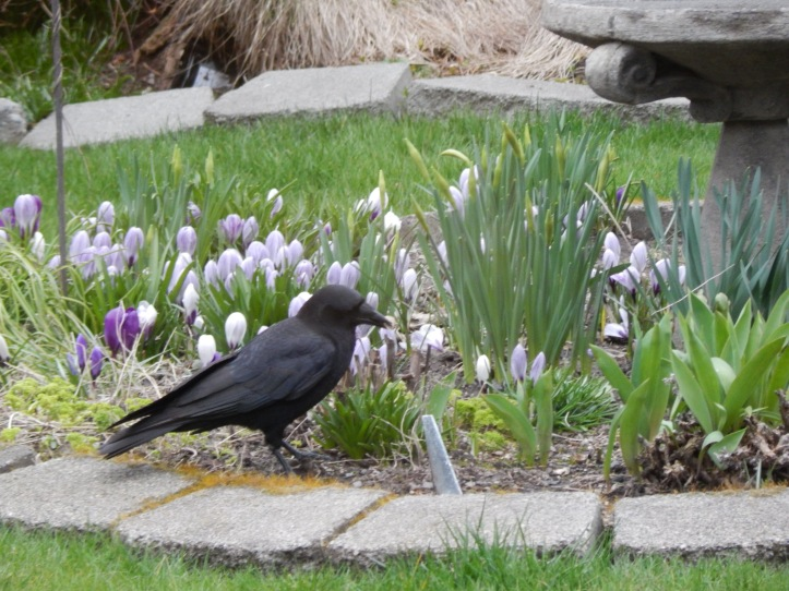 Spring flowers can spark Crow Love
