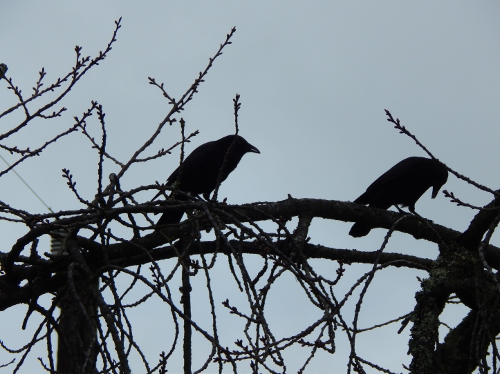 Crow Pair shopping Branches
