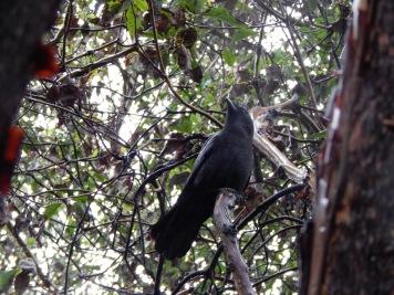 Madrona Crow in the Rain
