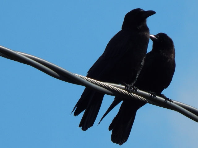 Crow Pair sunning themselves