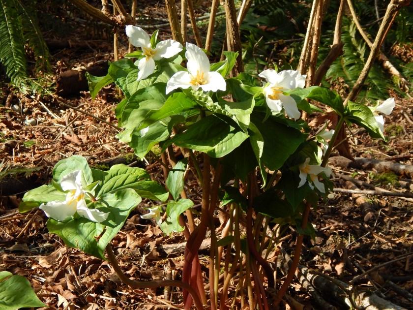 Bouquet of Trilliums