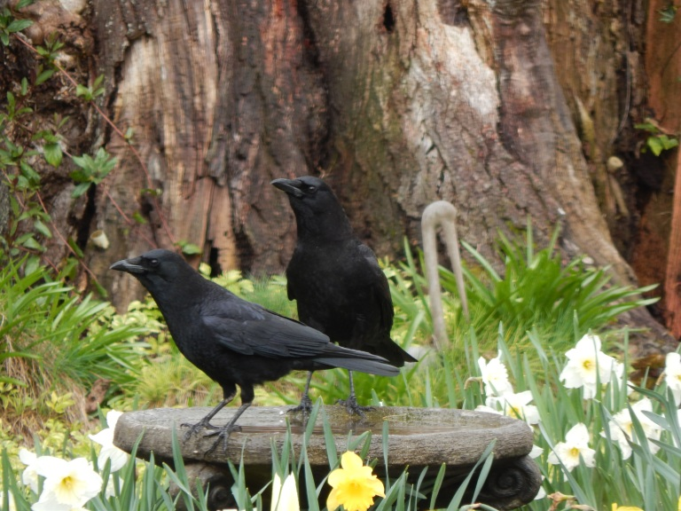 Crow Pair on our birdbath