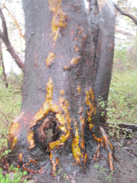 Madrona bark glowing orange on black from rain