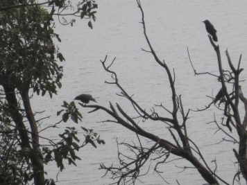My crow family greeting me from an old madrona snag.