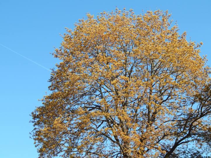 Oak Tree in leaf vs flower